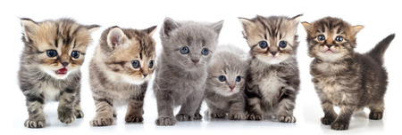 studio isolated over white portrait of large group of kittens against white background