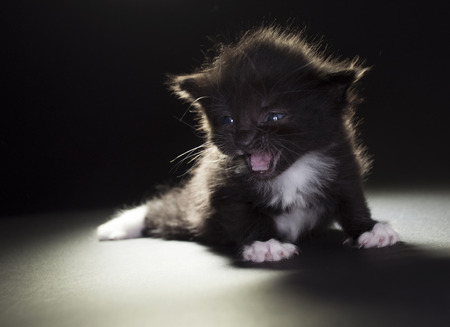 miaul: small black and white kitten on dark background Stock Photo
