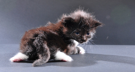 mewing: Small black and white kitten with white fluffy whiskers. Isolated on dark background. Studio shot. Stock Photo