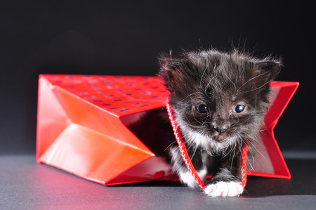 whiskers: Small black and white kitten with white fluffy whiskers black kitten walking out of red gift bag. Isolated on dark background. Studio shot.