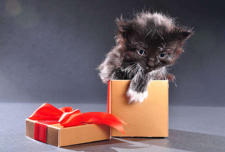 mewing: Small black and white kitten with white fluffy whiskers just getting out of present box. Isolated on dark background. Studio shot. Stock Photo