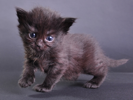 mewing: Small black  kitten walking jumping and running. Isolated on dark background.  Stock Photo