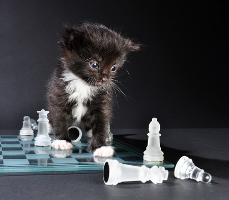 mewing: Studio shot of small black kitten sitting on glass chess board with scattered pieces. Isolated on black background.