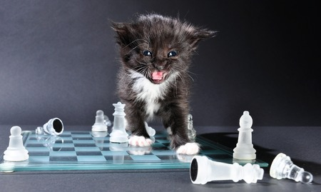 mewing: Studio shot of meowning small black kitten on glass chess board with scattered pieces.