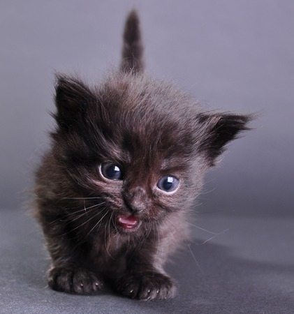 mewing: Small black  kitten withs meowing. Isolated on dark background. Studio shot. Stock Photo