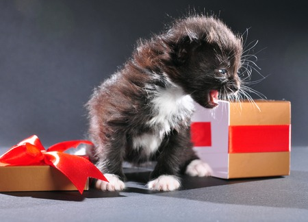 mewing: Small black and white kitten with white fluffy whiskers just came out of present box. Isolated on dark background. Studio shot. Stock Photo