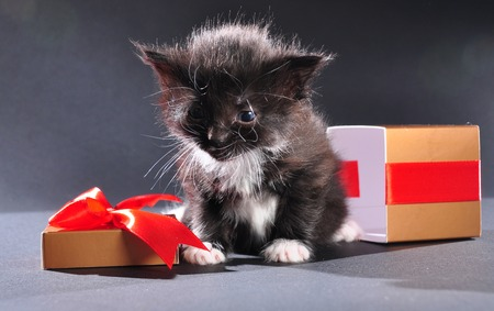 baby open present: Small black and white kitten with white fluffy whiskers just came out of present box. Isolated on dark background. Studio shot. Stock Photo