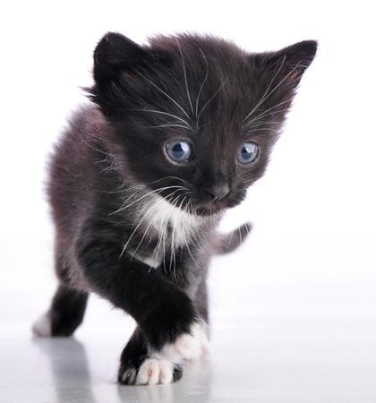 mewing: black and white kitten  walking toward camera