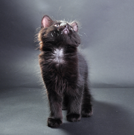 mewing: Small black and white cat with white fluffy whiskers . Isolated on dark background. Studio shot.