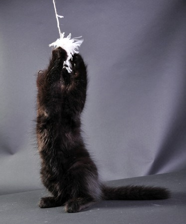 mewing: Young black kitten standing on hind paws and jumping, playing with a toy. Isolated on dark background. Studio shot.