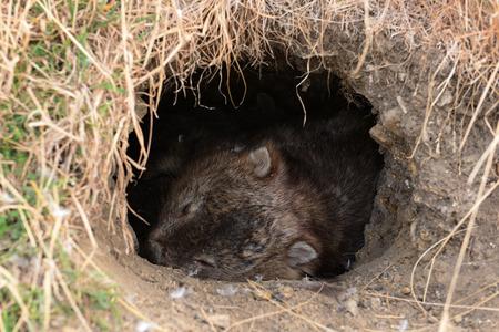 wombat: Acción invisible en la vida silvestre durante el día para Wombat, en Tasmania, Australia
