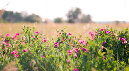 Pink peas and summer meadow flowers against the sky Banco de Imagens
