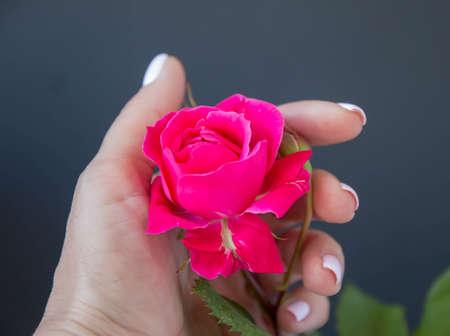 Pink rose bud, on a black background,