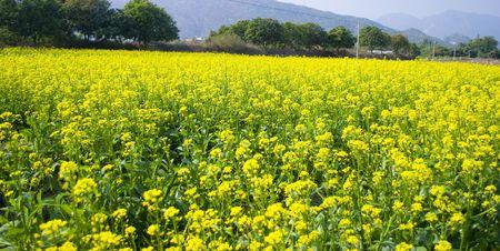 hexapod: fields of rape flowers
