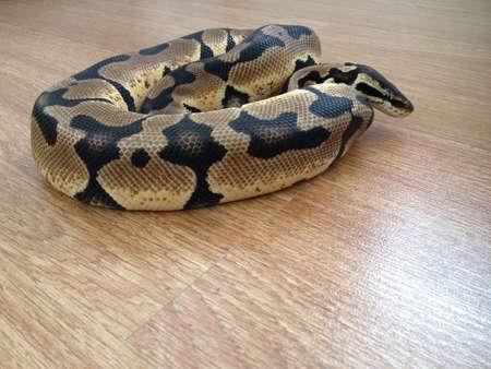 snake: Closeup Ball Python snake