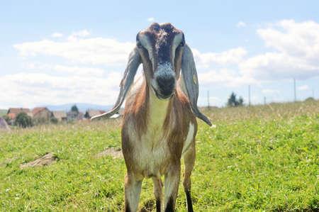glades: Nubian Goat