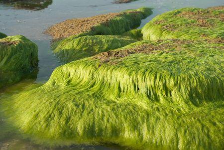 seaweed on the stones on the Coast of Mediterranean sea in Israel Stock Photo