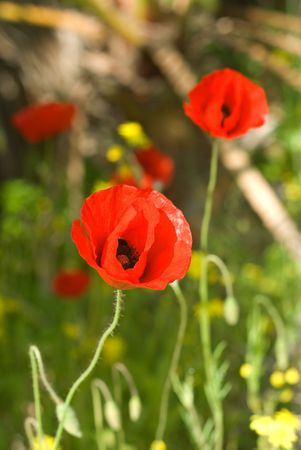 herbage: red poppy on a spring field