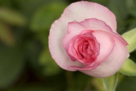 rosebud in selective focus Stock Photo - 2773863