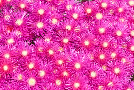 great number of beautiful pink garden flowers Stock Photo