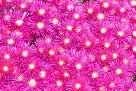 great number of beautiful pink garden flowers Stockfoto