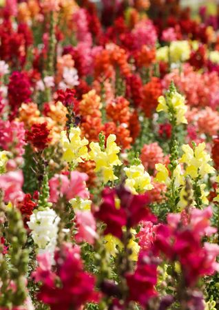 flower-bed with great number multicolored lupines photo