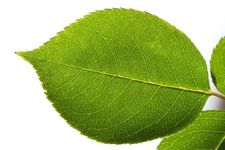 leaf from the  bush of rose