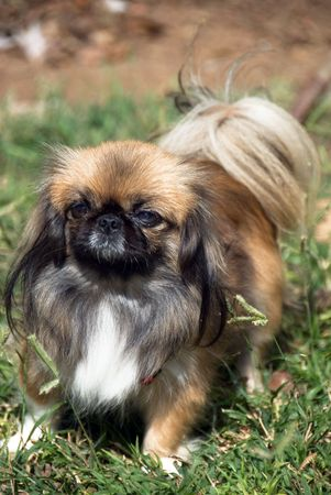 trusty: portrait of pretty pekingese dog standing on a grass