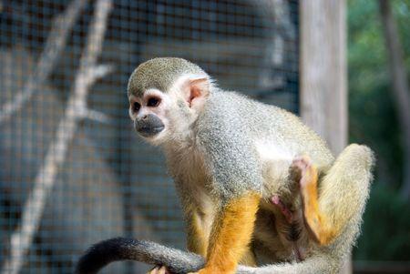 excitation: closeup of cute squirrel monkey Stock Photo