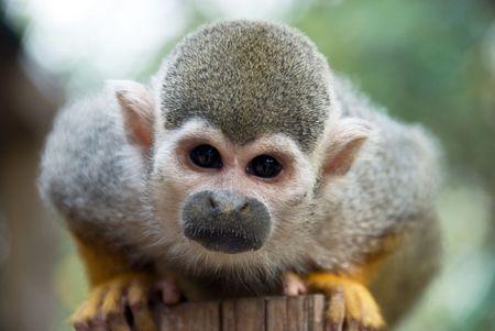 closeup of cute squirrel monkey Stock Photo