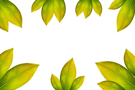 green leaves over white background photo