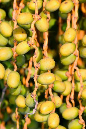 closeup of the palm tree fruits photo