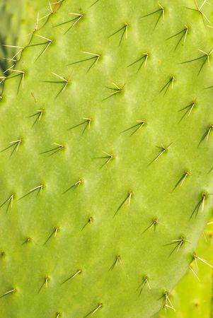 Prickly pears cactus (known as sabra in Israel)  photo