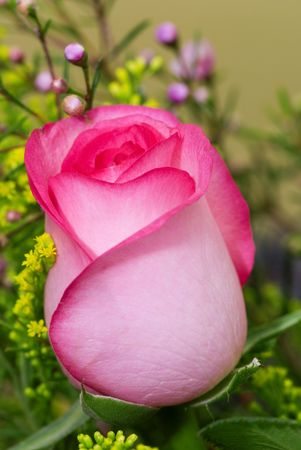 closeup of beautiful pink rose photo