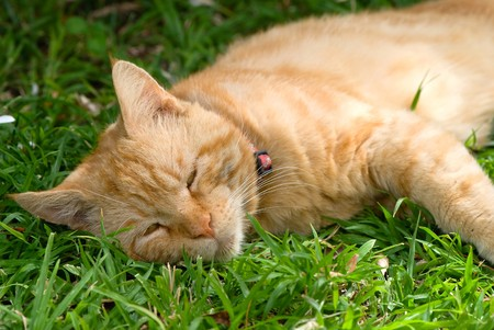 rufous:  rufous cat is resting on the green grass