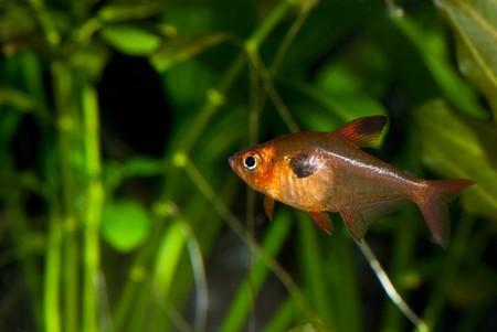 closeup of  beautiful aquarium fish Stock Photo
