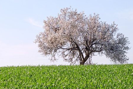 Lonely blossoming tree on the green field photo