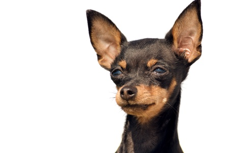 portrait of cute toy terrier dog over white photo