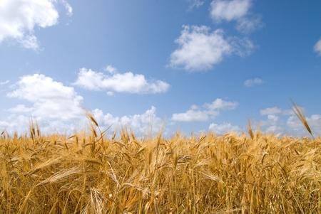 ear field under cloudy blue sky