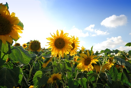 A field of sunflowers in Israel Stock Photo - 9709389