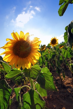 A field of sunflowers in Israel photo