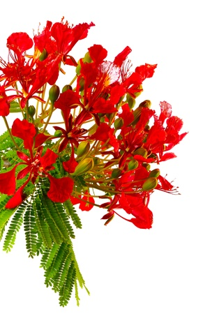 Peacock flowers on poinciana tree. Isolated on white photo