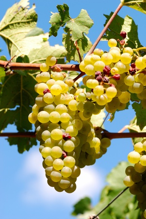 cluster: cluster of white grape at the vineyard. Stock Photo