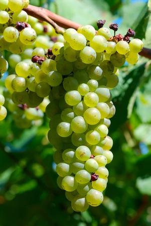 fruitful: cluster of white grape at the vineyard. Stock Photo