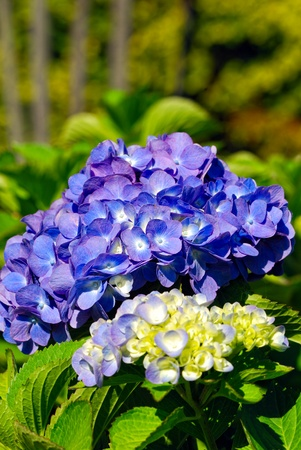 hydrangea blooming in the city park, Italy