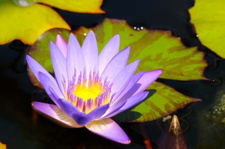 lilac water lily with lotus leaf on pond Stock Photo - 10731863