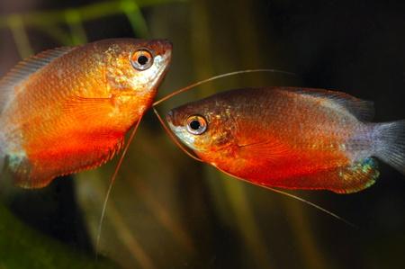 biotype: pair of beautiful red gouramis Stock Photo