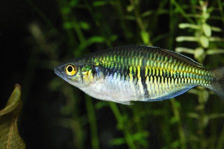 peces de acuario: Melanotaenia boesemani peces en un acuario