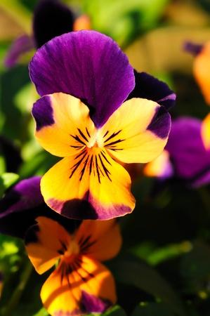 Beautiful tiny tricolored violas ( Heartsease or Johnny Jump Ups)