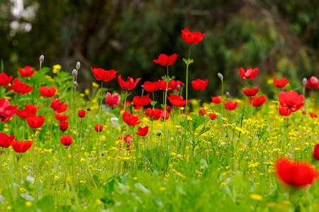 Wild Anemone flower spring field Stock Photo - 12520325